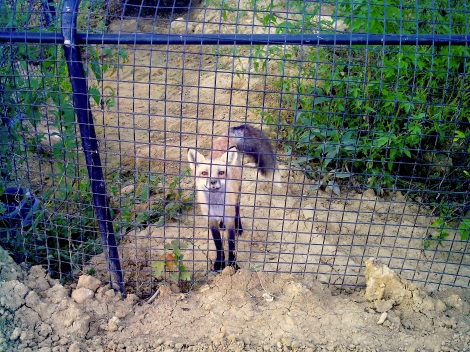 This fox was so friendly! He was a pet so he LOVES people!