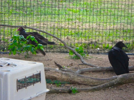 There were a lot of condors at the sanctuary.