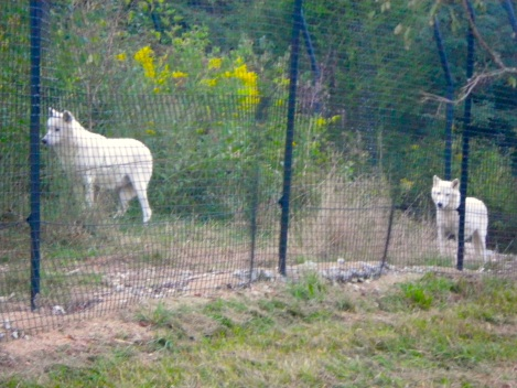 All the wolves were paired up. It was cute!