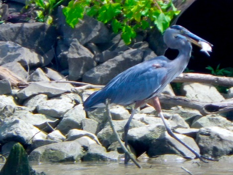 There were lots of herons fishing along the shore.