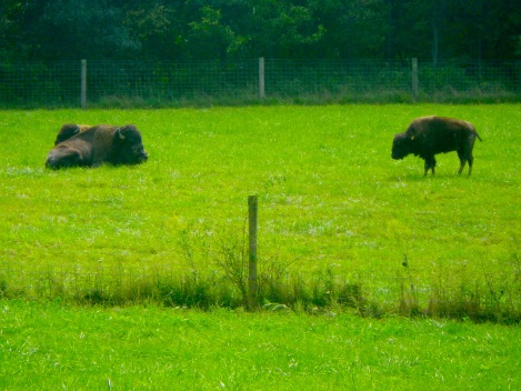 Buffalo. They were kind of far away so it's a good thing they're freaking huge.